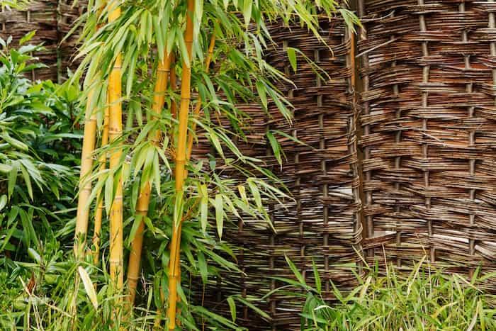 Plantas de bambú que se utilizan para hacer canalones pluviales